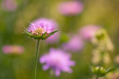 Clover (paulapics2) Tags: clover emerging petals sepals flora blumen canon5d sigma105mm bokeh colourful pink trifolium
