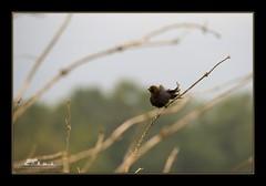 Brown-headed Cowbird (the_coprolite) Tags: canada nikon bc britishcolumbia sigma d750 coquitlam portcoquitlam brownheadedcowbird 120400mm colonyfarrm