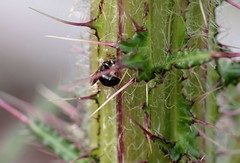 Hylaeus cornutus f - 25 V 2016 (el.gritche) Tags: hymenoptera france 40 garden colletidae hylaeus cornutus hylaeuscornutus female cirsiumpalustre nest behavior