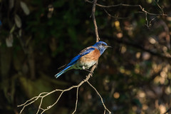 Western Bluebird (Sialia mexicana) (mojave955) Tags: california canon unitedstatesofamerica socal northamerica bluebird southerncalifornia orangecounty westcoast irvine thrush westernbluebird sialiamexicana     masonpark   williamrmasonregionalpark       7dmarkii