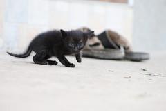 Almost bigger (dzepni_oktavo) Tags: pet black cute beautiful animal cat shoe small siamese kittens mew