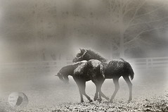 Lovers (Vivid_dreams) Tags: horses blackandwhite bw detail art animals outdoors blackwhite artistic action farm digitalart farmanimals digitalphotography digitalmanipulation artisticmanipulation
