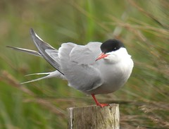 Common Tern (dugwin2) Tags: camera standing one looking post leg perched common tern towards upon pennington hants