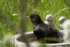 Amsel beim Baden - Blackbird taking a bath (riesebusch) Tags: berlin vgel garten marzahn
