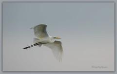 in flight (Sakerfalke) Tags: birds outdoor silberreiher mritznationalpark sakerfalkefotografie