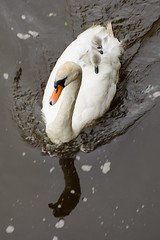 Swan and Cygnets (RoyReed) Tags: england bird river swan cornwall unitedkingdom cygnet gb