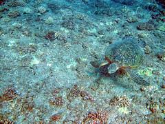 Green Turtle in Hawaii (iaakisa) Tags: usa animal hawaii oahu turtle seaturtle cheloniamydas greenturtle greenseaturtle waianae dolphinexcursions