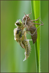 Metamorphosis (image 4 of 4) (Full Moon Images) Tags: macro nature insect four dragonfly wildlife bcn reserve national trust spotted fen cambridgeshire metamorphosis larva chaser woodwalton fourspotted nnr exuvia teneral greatfen