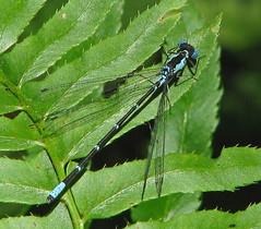 Aurora damsel, male (Chromagrion conditum) - RARE (Vicki's Nature) Tags: blue black fern male green canon georgia damselfly rare s5 9745 auroradamsel vickisnature gibbsgardens