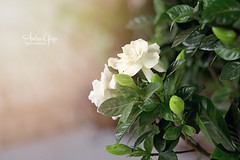 My Gardenias are Blooming! (Andrea Garza ~) Tags: flowers flower garden texas southern porch frontporch gardenia texashillcountry gardenias southernliving