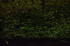 Fireflies 2016 #13 (kobaken++) Tags: light 2 summer night canon eos long exposure outdoor mark trail ii 5d  firefly        kobaken