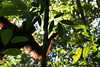 In the forest, Pondok Tangui, Tanjung Puting NP, Kalimantan, Indonesia (Michél Pretzsch) Tags: orang utan hutan apes big abes pongo forest jungle trees sun hidden conservation red green sony michel michél pretzsch leaves list tanjung puting pondok tangui kalimantan borneo indonesia orangutan monkey wildlife diamir erlebnisreisen dresden