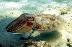 seiche (Koh Lipe - Thalande) (jeanmarie.gradot) Tags: sepia snorkeling cuttlefish thailande kohlipe seiche invertbr