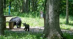 hi Baby bear (richard binhammer) Tags: nationalpark picnic bears blueridgemountains blueridgepkwy momandbabybear