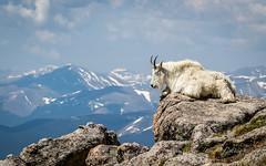 Mountain goat on top (cbjphoto) Tags: mountain photography evans scenic rocky goat mount oreamnosamericanus carljackson