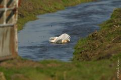 Mark Kras-Lepelaar-IMG_5824.jpg (markkras-fotografie) Tags: birds animals fauna nederland vogels aves nl dieren lepelaar platalealeucorodia eurasianspoonbill