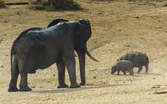 Just Ignore him and Keep Walking, Son (philnewton928) Tags: africa wild elephant nature animal southafrica mammal outdoors nikon natural outdoor wildlife safari hippo hippopotamus animalplanet krugernationalpark kruger africanelephant satara hippopotamusamphibius loxodontaafricana bullelephant d7200 nikond7200