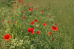 IMG_7228 (n_kot) Tags: field landscape pole wildflowers kwiaty kwiat kwiatypolne