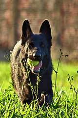 "Kira com 2 anos e 4 meses ("" Max Dressler "") Tags: new brazil dog playing black co brasil female puppy disco amigo furry friend outdoor shepherd horizon buddy preto german cachorro frisbee paulo disc sao pastor novo so horizonte brincando alemo fmea peludo amigo"