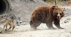 brownbear and wlf Hoenderdael JN6A4550 (j.a.kok) Tags: bear beer wolf brownbear bruinebeer europeanwolf hoenderdael