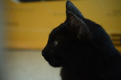 A Stray I let In my house (b_d_w_s) Tags: portrait animal cat blackcat nikon straycat unedited petportrait animalportrait animalphotography animalphotographer nikond3100