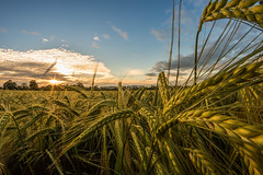 Hello Summer (Rob Pitt) Tags: hello sunset summer up field corn close cheshire rye fisheye crop wirral eastham 750d