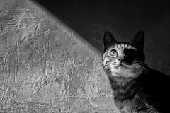 cat bw () Tags: bw contrast cat fujifilm xpro1