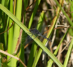 Dot-tailed Whiteface (tapaculo99) Tags: animal insect vermont dragonfly leucorrhiniaintacta dottailedwhiteface