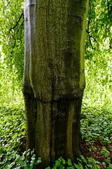 Buche in Hiltrup - 2016 - 0014_Web (berni.radke) Tags: tree giant baum beech mnster buche colossus riese hiltrup