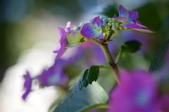 (juli_ei) Tags: flower blume blte blossom hortensie pflanze canon eos6d 6d ef100mmf28lmacroisusm nahaufnahme bokeh
