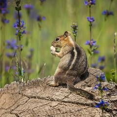 Golden-mantled Ground Squirrel 20160701_8085 (GORGEous nature) Tags: summer oregon mammal eating july stump vertebrates goldenmantledgroundsquirrel hoodriverco mhnf spermophiluslateralis fsrd17 johndavis