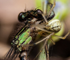 Spider&Damsel_Fly (john j kennedy58) Tags: macro nature canon insect spider eating eat damselfly 30d