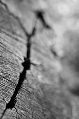 Across the Years (belleshaw) Tags: blackandwhite oakglen losriosrancho tree stump wood rings cracked fallen decay damage nature detail bokeh
