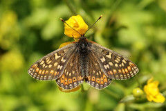 Marsh Fritillary  Euphydryas aurinia debilis (Roger Wasley) Tags: marshfritillary debilis butterfly butterflies alps alpine lech austria europe austrian european macro euphydryasaurinia
