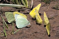 sipping through straws (Jeff Mitton) Tags: puddling puddlingbutterflies cloudedsulphur butterfly alexandrassulphur coliasphilodice coliasalexandra earthnaturelife wondersofnature