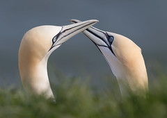 Gannets Pair Bonding (Markp33) Tags: