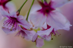 Cherry Blossoms - 3990 (www.karltonhuberphotography.com) Tags: park flowers abstract nature beautiful closeup mystery colorful soft details blossoms pastels cherryblossoms southerncalifornia delicate naturalworld impressionistic blooming shallowdepthoffield selectivefocus naturephotography 2015 nikkor105mm flowerphotography huntingtonbeachcentralpark fragle nikond7000 karltonhuber