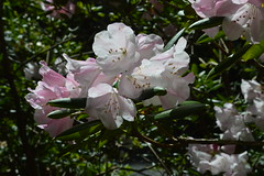 Anwihense (David A's Photos) Tags: flowers bc columbia convention british ars sidney rhododendrons 2015 rhodies strona may2015 anwihense