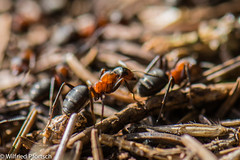 BWI3_171_12. April 2015 (wilfriedpförtsch) Tags: umwelt formicarufa rotewaldameise hautfluegler insektspinne ultratagproc20062013coolcolours ultratagpro401de reichdertiere