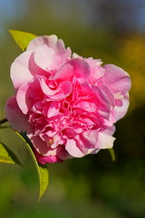 Morning Camellia (David S Wilson) Tags: morning pink flower floral sony camellia 2015 davidswilson