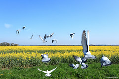 Fly Away Home (twinklespinalot) Tags: birds racingpigeon canon700d