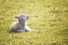 Happy Lamb (Vemsteroo) Tags: sunset cute nature beautiful canon evening spring sheep bokeh farm grasmere joy lakedistrict adorable content cumbria newborn lamb lambs serene agriculture 100400mm lambing