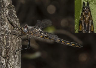 Female Robust Baskettail -- Side View