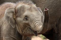 Nhi Linh (K.Verhulst) Tags: elephant rotterdam blijdorp elephants nl blijdorpzoo olifanten diergaardeblijdorp rotterdamzoo aziatischeolifant asiaticelephants nhilinh