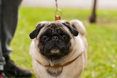 'ello (Aurora C.V) Tags: dog cute pug