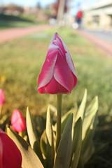 IMG_3621 (Gkmen Kmrt) Tags: flower tulip 2015 amlca laleler