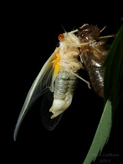 So it begins(3 of 5) (Urutu_From_SW_PA) Tags: cicada magicicada periodicalcicada magicicadaseptendecim 17yearperiodicalcicada