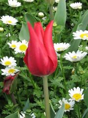 IMG_6130 (Gkmen Kmrt) Tags: tulips tulip 2014 emirgan laleler