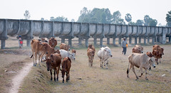 Cows going home at the end of day (phuong.sg@gmail.com) Tags: road travel red summer people sunlight man motion male dusty tourism nature field grass animal yellow way children asian mammal person moving buffalo scenery asia track vietnamese cattle cows bullock action farm farming young straw running bull ox vietnam farmer agriculture dust livestock goldenhour agricultural indochina yellowgrass groupofcows