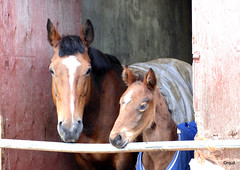 Two Horses Near Orphir (orquil) Tags: uk greatbritain two portrait horses smart islands scotland spring nice interesting orkney young may well parent attractive curious relaxed livestock stable groomed alert equine foal pleasing orphir orcades scorradaleroad